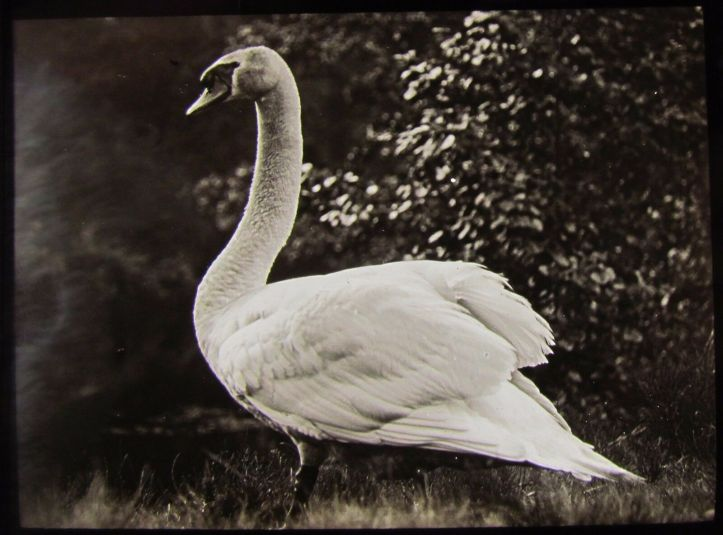 Glass-Magic-Lantern-Slide-AN-ADULT-SWAN-C1910